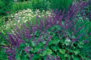 Salvia_PurpleRain