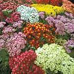 Achillea SummerPastel sq - Perennials, Evergreen Deciduous Shrubs, Trees For Professionals